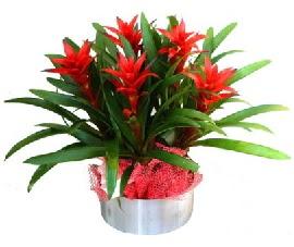 5 adet guzmanya saksı çiçeği Ankara Dikmen Osmantemiz online çiçek gönderme sipariş