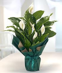 Spatifilyum Barış çiçeği Büyük boy ankara çiçekçi Dikmen ucuz çiçek gönder