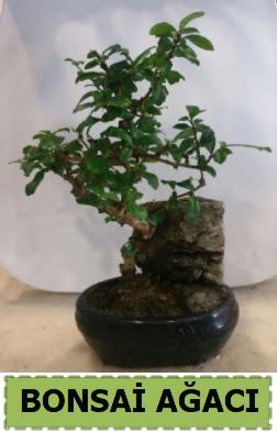 Bonsai ağacı japon ağacı satışı Dikmen Keklikpınarı çiçek online çiçek siparişi