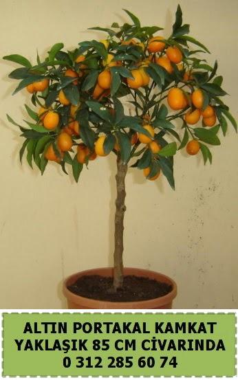 Altın portakal Kamkat ağacı bitkisi Ankara Dikmen cicekciler , cicek siparisi