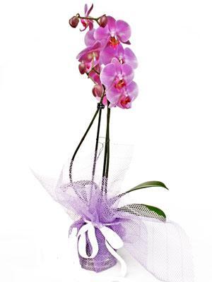 ankara çiçek yolla Dikmen malazgirt çiçekçi telefonları  Kaliteli ithal saksida orkide