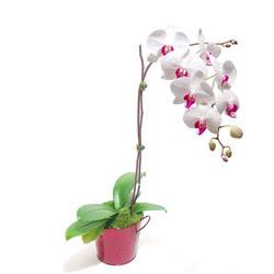 Ankara Dikmen cicekciler , cicek siparisi  Saksida orkide
