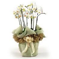 Dikmen ankara çiçek mağazası , çiçekçi adresleri  3 dal orkide , saksi çiçegi , 3 kök orkide