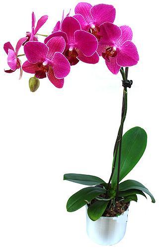 çiçekçi Dikmen çiçek servisi , çiçekçi adresleri  saksi orkide çiçegi
