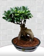 saksı çiçeği japon ağacı bonsai Dikmen Naciçakır çiçekçi mağazası