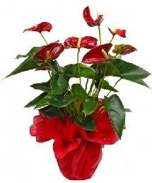 Antorium saksı çiçeği çiçekçi Dikmen çiçek servisi , çiçekçi adresleri