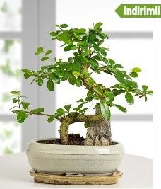 S şeklinde ithal gerçek bonsai japon ağacı Ankara Dikmen kaliteli taze ve ucuz çiçekler
