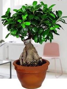 5 yaşında japon ağacı bonsai bitkisi Ankara Dikmen İlker çiçek yolla , çiçek gönder , çiçekçi
