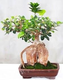 Japon ağacı bonsai saksı bitkisi Dikmen Akpınar Ankara  hediye sevgilime hediye çiçek