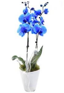 2 dallı AŞILI mavi orkide Ankara Dikmen 14 şubat sevgililer günü çiçek