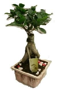 Japon ağacı bonsai seramik saksı Ankara Dikmen Mürseluluç hediye çiçek yolla