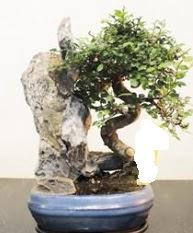 Japon ağacı bonsai saksı bitkisi satışı Ankara Dikmen kaliteli taze ve ucuz çiçekler