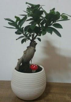 Bonsai japon ağacı saksı çiçeği Ankara Dikmen Osmantemiz online çiçek gönderme sipariş