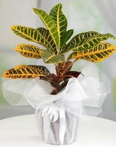Orta boy kraton saksı bitkisi ankara çiçekçi Dikmen ucuz çiçek gönder