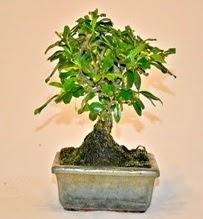 Zelco bonsai saksı bitkisi ankara çiçekçi Dikmen ucuz çiçek gönder