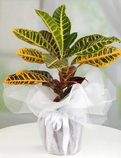 Kraton saksı bitkisi çiçeği ankara çiçekçi Dikmen ucuz çiçek gönder