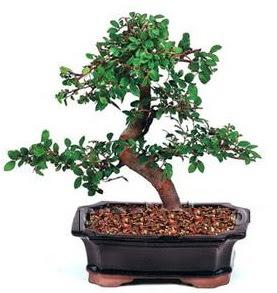 İthal bonsai japon ağacı Dikmen ankara çiçek mağazası , çiçekçi adresleri