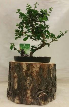 Doğal kütük içinde bonsai japon ağacı Dikmen Keklikpınarı çiçek siparişi vermek