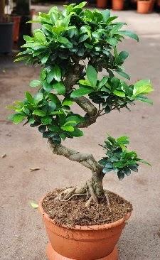 Orta boy bonsai saksı bitkisi Aşağı Dikmen ankara çiçekçi telefonları yurtiçi ve yurtdışı çiçek siparişi