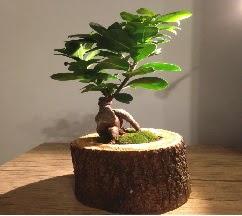 Doğal kütükte Bonsai japon ağacı satışı Ankara Dikmen kaliteli taze ve ucuz çiçekler