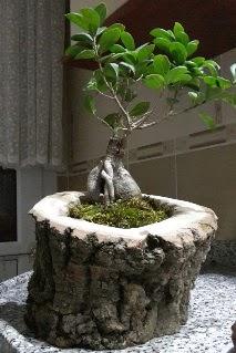 Ahşap kütük içerisinde ginseng bonsai Aşağı Dikmen ankara çiçekçi telefonları yurtiçi ve yurtdışı çiçek siparişi