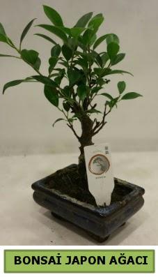 Bonsai japon ağacı saksı bitkisi ankara çiçekçi Dikmen ucuz çiçek gönder