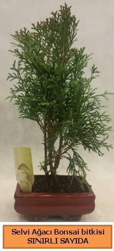 Selvi ağacı bonsai japon ağacı bitkisi Ankara Dikmen 14 şubat sevgililer günü çiçek