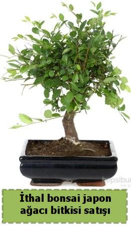 İthal bonsai saksı çiçeği Japon ağacı satışı Dikmen Keklikpınarı çiçek siparişi vermek