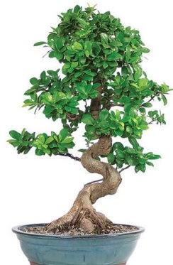 Yaklaşık 70 cm yüksekliğinde ithal bonsai Dikmen Ankara çiçek gönder uluslararası çiçek gönderme