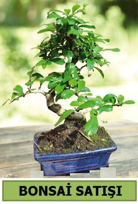 Çam bonsai japon ağacı satışı Ankara Dikmen 14 şubat sevgililer günü çiçek