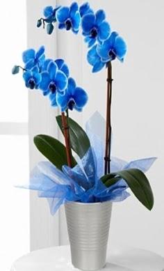 Seramik vazo içerisinde 2 dallı mavi orkide Öveçler Dikmen anneler günü çiçek yolla