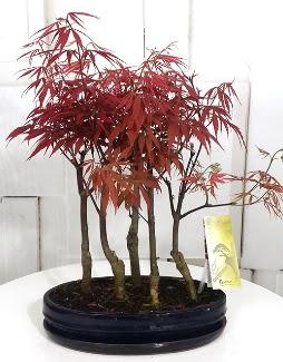 5 adet japon akçaağaç bonsai çiçeği Ankara Dikmen 14 şubat sevgililer günü çiçek