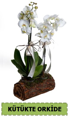 Kütük içerisinde 2 Adet tek dallı orkide ankara çiçek yolla Dikmen malazgirt çiçekçi telefonları
