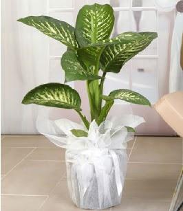 Tropik saksı çiçeği bitkisi Ankara Dikmen 14 şubat sevgililer günü çiçek