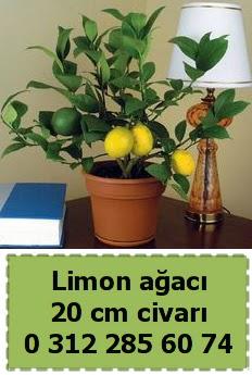 Limon ağacı bitkisi Dikmen Ankara çiçek gönder uluslararası çiçek gönderme