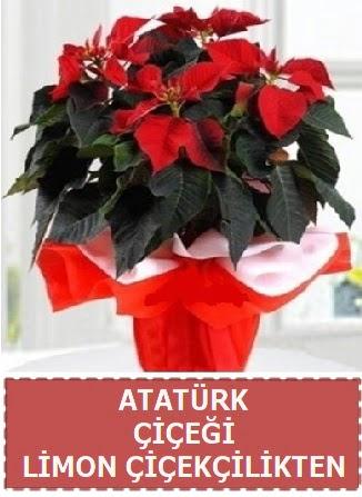 Atatürk çiçeği saksı bitkisi Ankara Dikmen 14 şubat sevgililer günü çiçek
