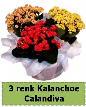 3 renk Kalanchoe Calandiva saksı bitkisi Ankara Dikmen cicekciler , cicek siparisi