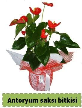 Antoryum saksı bitkisi büyük boy satışı Öveçler Dikmen anneler günü çiçek yolla