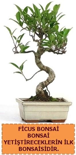 Ficus bonsai 15 ile 25 cm arasındadır Dikmen cicek , cicekci