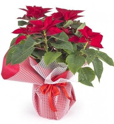 Atatürk çiçeği saksı bitkisi Ankara Dikmen Osmantemiz online çiçek gönderme sipariş