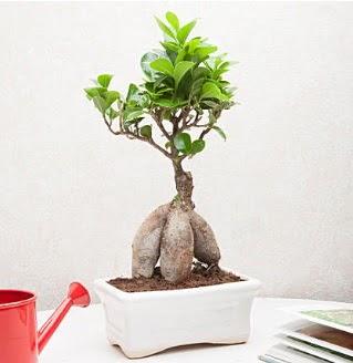 Exotic Ficus Bonsai ginseng ankara çiçekçi Dikmen ucuz çiçek gönder