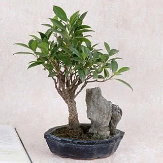 Japon ağacı Evergreen Ficus Bonsai Ankara Dikmen Osmantemiz online çiçek gönderme sipariş