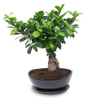 Ginseng bonsai ağacı özel ithal ürün Ankara Dikmen kaliteli taze ve ucuz çiçekler