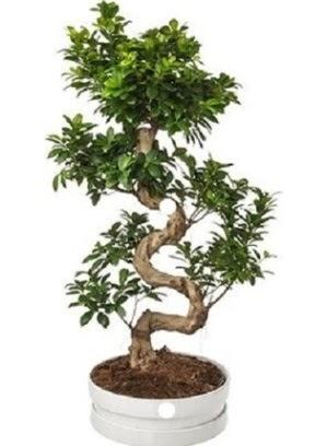 90 cm ile 100 cm civarı S peyzaj bonsai Ankara Dikmen Osmantemiz online çiçek gönderme sipariş