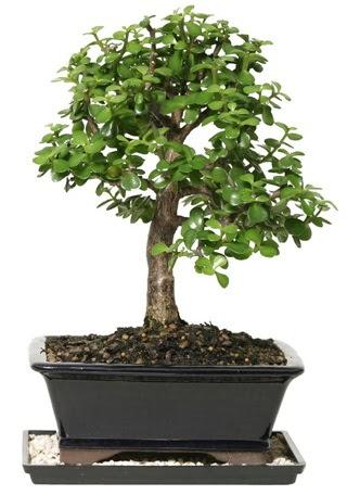 15 cm civarı Zerkova bonsai bitkisi Dikmen ankara çiçek mağazası , çiçekçi adresleri