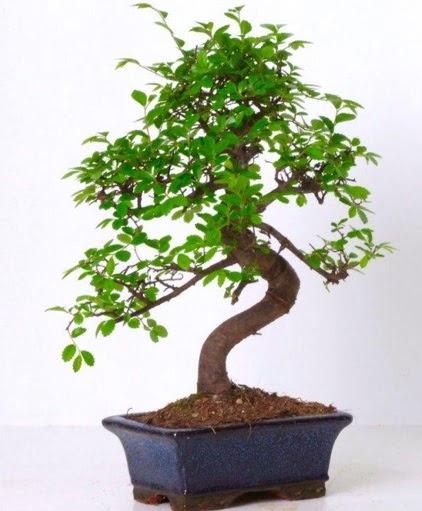 S gövdeli bonsai minyatür ağaç japon ağacı Ankara Dikmen Osmantemiz online çiçek gönderme sipariş