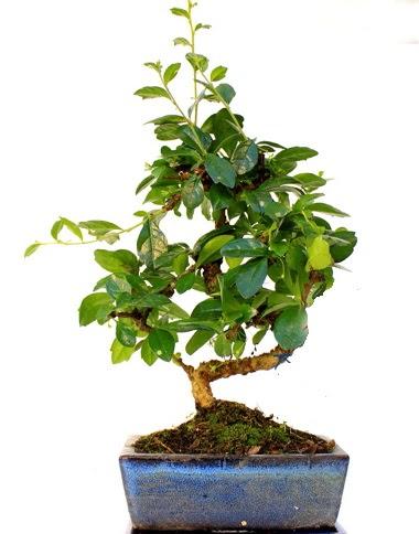S gövdeli carmina bonsai ağacı Dikmen cicek , cicekci  Minyatür ağaç