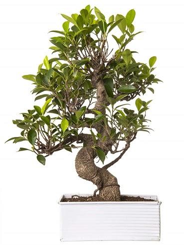 Exotic Green S Gövde 6 Year Ficus Bonsai Ankara Dikmen Osmantemiz online çiçek gönderme sipariş